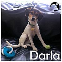 Adopt A Pet :: Darla - Novi, MI