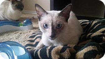 Siamese Cat for adoption in Austin, Texas - Artemis II