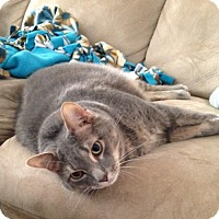 Domestic Shorthair Cat for adoption in Potomac, Maryland - Maverick