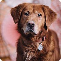 Adopt A Pet :: Big Red - Portland, OR