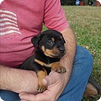 Adopt A Pet :: Axel - Springtown, TX