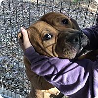 Adopt A Pet :: Ski Bo - Henderson, NC