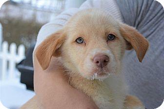 Husky Mix Puppy for adoption in Danbury, Connecticut - Sunshine