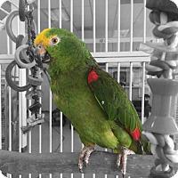 Adopt A Pet :: Ouka - Villa Park, IL
