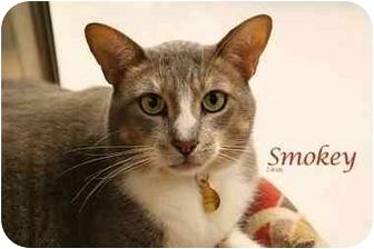 Domestic Shorthair Cat for adoption in Yorba Linda, California - Smokey Joe