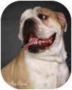 English Bulldog Dog for adoption in conyers, Georgia - Max