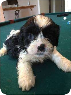 shih tzu cavalier mix knuckle adopted puppy lonedell mo cavalier king 355