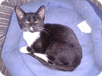Domestic Shorthair Kitten for adoption in Acme, Pennsylvania - Tux