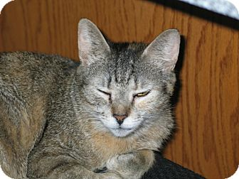 Domestic Shorthair Cat for adoption in West Dundee, Illinois - Pixel