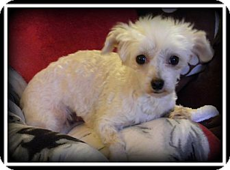 Maltese Dog for adoption in Indian Trail, North Carolina - Lolli