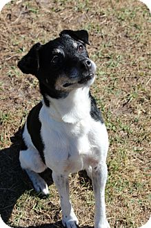 Jack Russell Terrier Mix Dog for adoption in Tampa, Florida - Snickers