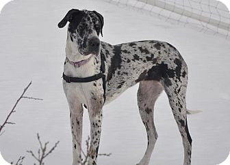 Great Dane Dog for adoption in Broomfield, Colorado - Silver