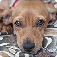 Adopt A Pet :: Claribell - san diego, CA