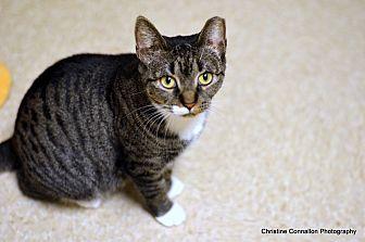 Domestic Shorthair Cat for adoption in Island Park, New York - Darla