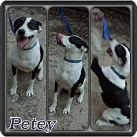 Adopt A Pet :: Petey meet me 8/21 - East Hartford, CT