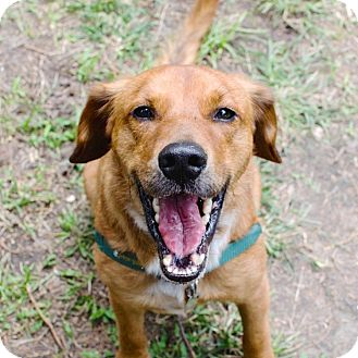 golden retriever and beagle mix brownie adopted dog 3480 houston tx beagle golden 4660