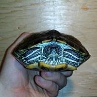 Turtle - Other for adoption in Markham, Ontario - Melanie