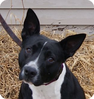 avril adopted dog monroe mi border colliepit bull