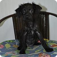 Adopt A Pet :: Disco - Deerfield Beach, FL