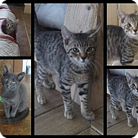 Adopt A Pet :: A Few Cute Kittens! - Martinsburg, WV