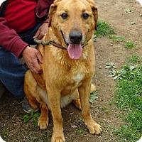 Labrador Retriever Dog for adoption in Freeport, New York - Bruno Mars