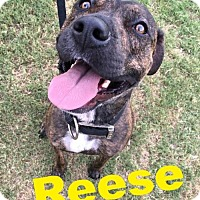 Adopt A Pet :: Reese - Cantonment, FL