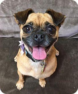 Pug/Beagle Mix Dog for adoption in Philadelphia, Pennsylvania - Stephanie
