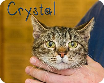 Domestic Shorthair Cat for adoption in Somerset, Pennsylvania - Crystal