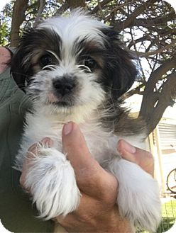 Shih Tzu Dog for adoption in Temecula, California - Lizzy