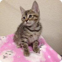 Adopt A Pet :: Bitsi - Fort Collins, CO