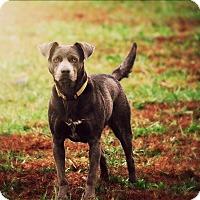 Weimaraner/Terrier (Unknown Type, Medium) Mix Dog for adoption in Neosho, Missouri - Tessla