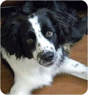 Border Collie/Spaniel (Unknown Type) Mix Dog for adoption in Buffalo, New York - TY-Courtesy Listing