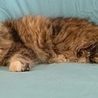 Calico Cat for adoption in Anacortes, Washington - Missy