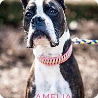 Adopt A Pet :: Amelia - Garden City, MI