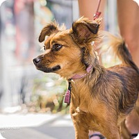 Adopt A Pet :: Trixie - Los Angeles, CA