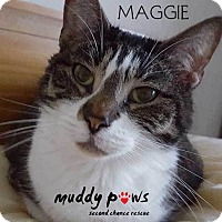 Domestic Mediumhair Cat for adoption in Council Bluffs, Iowa - Maggie (Cat)