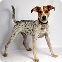 Adopt A Pet :: Apollo Cattle Dog - St. Louis, MO