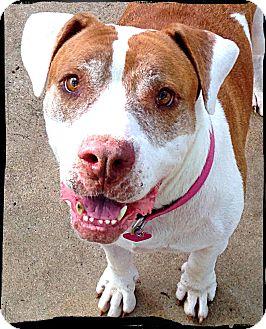 American Bulldog Dog for adoption in Johnson City, Texas - Sissi