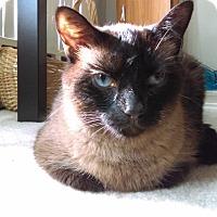 Siamese Cat for adoption in St Paul, Minnesota - Evie