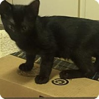 Domestic Shorthair Kitten for adoption in Fountain Hills, Arizona - TOBY
