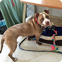 Pit Bull Terrier Mix Dog for adoption in Manchester, New Hampshire - Juju