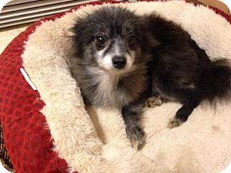Pomeranian Dog for adoption in Union Grove, Wisconsin - Anika
