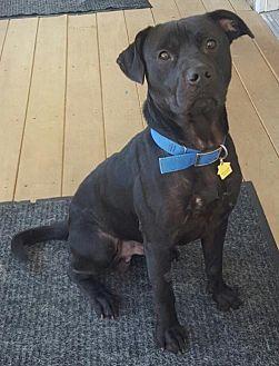 Labrador Retriever/Terrier (Unknown Type, Medium) Mix Dog for adoption in Southeastern, Pennsylvania - Bear
