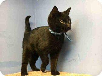 Domestic Mediumhair Cat for adoption in Canfield, Ohio - BASIL