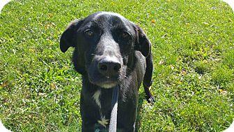 German Shepherd Dog/Labrador Retriever Mix Dog for adoption in Marion, Indiana - MIDNIGHT
