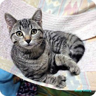 Polydactyl/Hemingway Cat for adoption in Paris, Maine - Lon