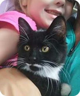Domestic Mediumhair Kitten for adoption in Raritan, New Jersey - Cosmo