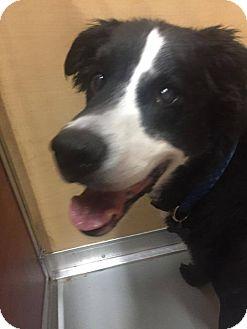 Border Collie/Labrador Retriever Mix Dog for adoption in St. Charles, Missouri - Oreo
