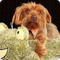 Adopt A Pet :: Bain - Carrollton, TX