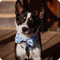 Adopt A Pet :: Dooda - Springfield, MO